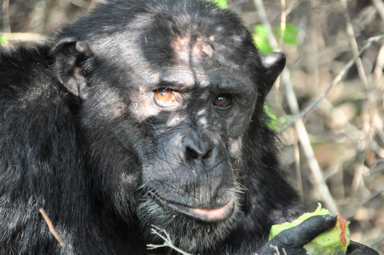 Close up van een chimpansee