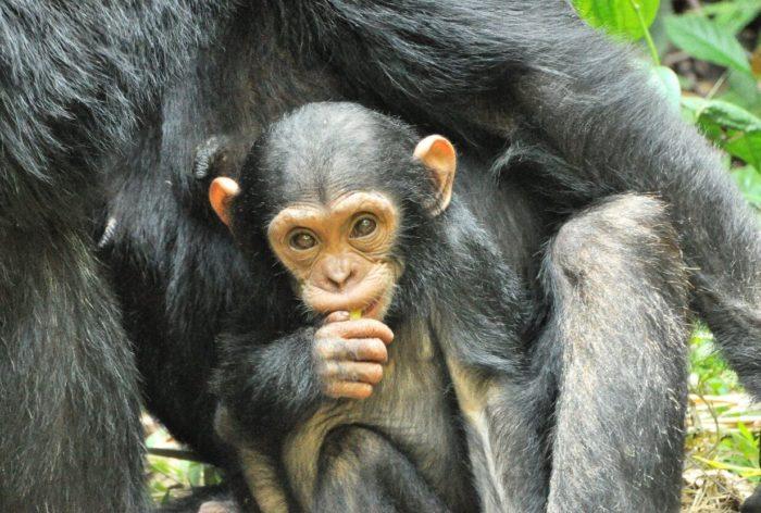 Chimpansee tracking – safari Afrika op zijn best