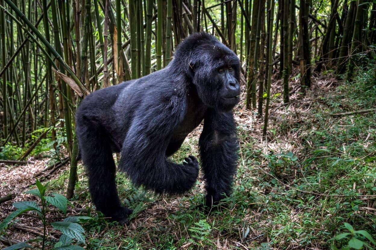 Gorilla in een staande positie tussen de bamboe's
