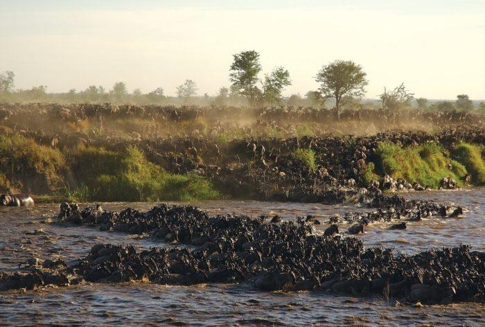 De grote wildebeest migratie