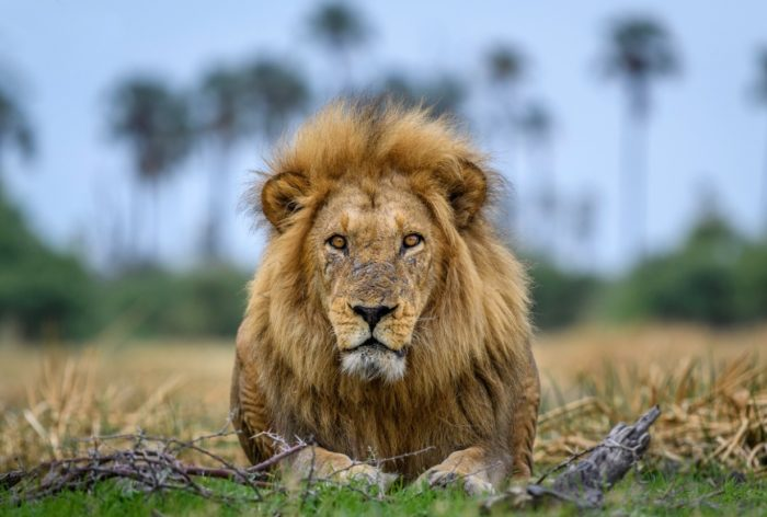 De Big 5 – Afrika's meest iconische wild