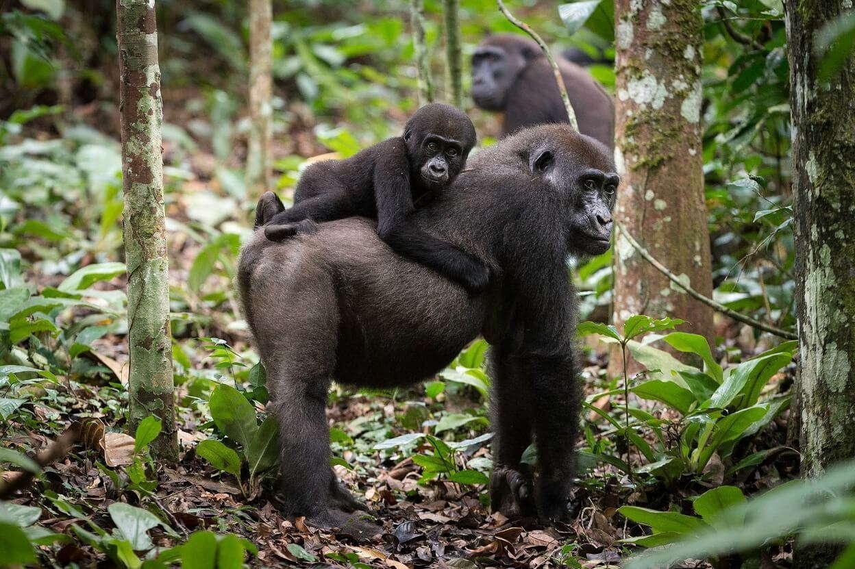 Drie gorilla's in het bos