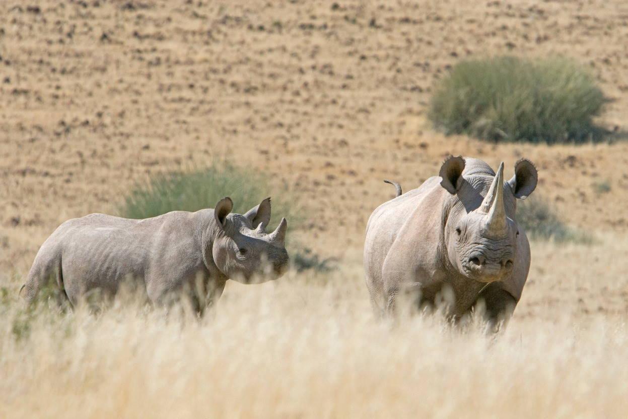 Twee neushoorns in een weide